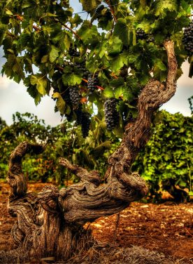 barossa-chapters-old-vine-jpgw1140